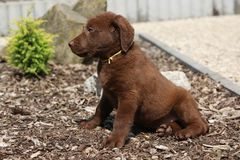 Amazing chesapeake bay retriever puppy Royalty Free Stock Photo