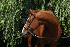 Amazing chestnut Thoroughbred. With halter in nature stock photography