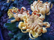 Amazing chrysanthemums of the queen of autumn. royalty free stock photography