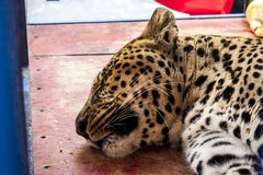 Amazing circus leopard sleeping Royalty Free Stock Photo