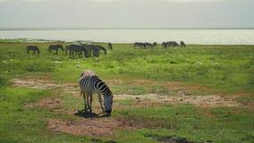 Amazing close shot of dazzle of zebras on halt eating on wide grass fields of african savanna. Herd of wildlife seen in