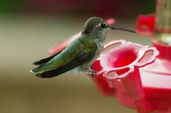 Amazing close-up of a humming bird sitting completely still at a bird feeder stock photo