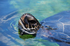 Amazing Close Up of a Sea Turtle Swimming Royalty Free Stock Image