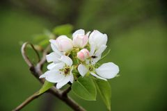 An apple blossom royalty free stock photos