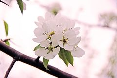 An apple blossom Royalty Free Stock Photography