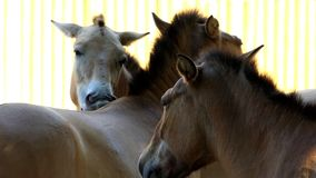 Three Brown Horses Stand And Caress Each Other in a Zoo in Summer. An Amazing Closeup of Three Horses Which Are Full of Romantic Feelings Towards Each Other stock video footage
