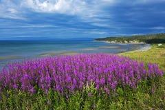 Amazing coastal fireweed, Newfoundland Royalty Free Stock Images