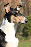 Amazing Collie Smooth in the garden Stock Image