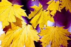 Amazing color in autumn leafs. Amazingly beautiful colors of dry leafs in autumn, bathed in sunlight Royalty Free Stock Image