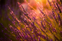 Amazing color sunset Lavender in Garden Royalty Free Stock Images