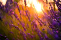 Amazing color sunset Lavender in Garden Stock Photography