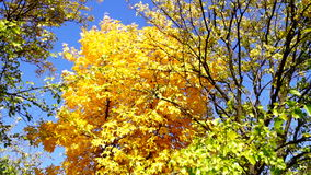 Amazing colored tree crown  and blue sky in sunny day in park, in October, tilt stock video footage