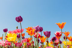 Amazing colored tulips against a blue sky Stock Photos