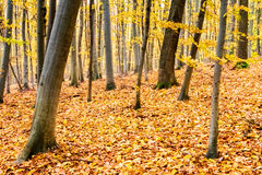 Amazing colorful autumn in beech and oak forest Stock Image