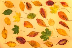 Amazing colorful autumn leaves on light yellow background. Pleasant autumn colors. Beautiful fall leaves on beige background