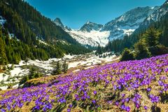 Spring landscape with purple crocus flowers, Fagaras mountains, Carpathians, Romania. Amazing colorful fresh purple crocus flowers and stunning spring landscape royalty free stock photography