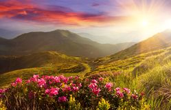 Amazing colorful sundown in mountains with majestic sunlight and pink rhododendron flowers on foreground. Dramatic colorful scene. In mountains stock images