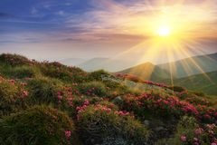 Amazing colorful sundown in mountains with majestic sunlight and pink rhododendron flowers on foreground. Dramatic colorful scene. In mountains. Golden sunbeams royalty free stock photos