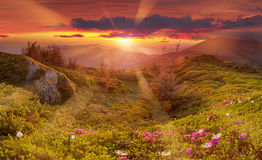 Amazing colorful sunrise in mountains with colored clouds and pink rhododendron flowers on foreground. Dramatic colorful scene wit. H flowers in mountains Royalty Free Stock Photo