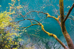 Amazing colors of mossy tree and deep lake at Jiuzhaigou Unesco Stock Photos