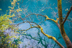 Amazing colors of mossy tree and deep lake at Jiuzhaigou Valley Stock Images