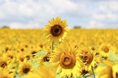 Sun fliers are blooming. Amazing colors in this sun flower field beautiful and Stock Photography