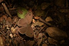 Amazing common  threering  ypthima asterope butterfly. royalty free stock images