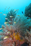 Amazing Coral Reef Life and Diversity off Padre Burgos, Leyte, Philippines Royalty Free Stock Images