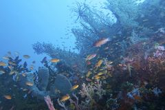 Amazing Coral Reef Life and Diversity off Padre Burgos, Leyte, Philippines. The diving around the small but vibrant town of Padre Burgos, is a real paradise for Stock Photo