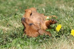 Amazing Dachshund puppy laying in the garden Stock Photos