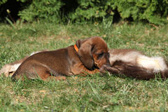 Amazing Dachshund puppy laying in the garden Stock Images