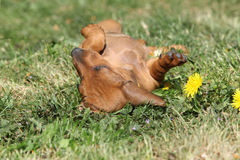 Amazing Dachshund puppy laying in the garden Royalty Free Stock Images