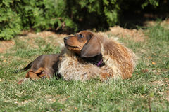 Amazing Dachshund puppy laying in the garden Stock Image