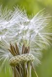 Amazing dandelion head with some stamens. Close up stock photo