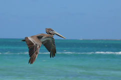 Amazing Detail on a Pelican`s Wings in Aruba Stock Photography