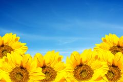Amazing developing sunflowers against the sky. Blooming sunflowers on a sky.  royalty free stock photos