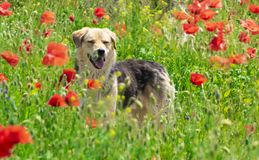 Dog playing in the poppy field in spring time. Amazing dog playing in the poppy field in spring time Stock Photos