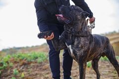 Amazing dog walking with owner outdoors. Pet concept. A big dark pitbull walking with owner outdoors. Cute dog standing near the man on the nature background stock images