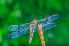 An amazing dragonfly Stock Image