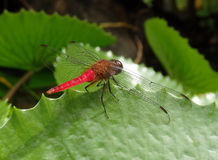 Amazing dragonfly on a pond leaf in the caribbean royalty free stock photo