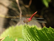 Amazing dragonfly on a pond leaf in the caribbean Stock Photos