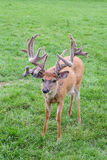 Amazing Elk Antlers Stock Images