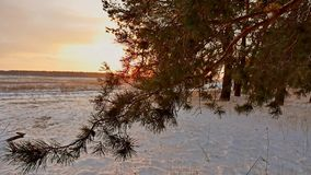 Amazing evening motion winter landscape. Christmas tree beautiful sunset winter forest snow sun a glare stock video footage