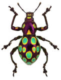 Amazing exotic weevil Pachyrhynchus gemmatus Stock Photography