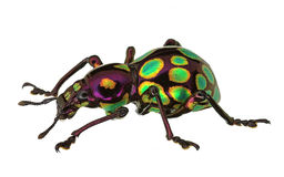 Amazing exotic weevil Pachyrhynchus gemmatus Royalty Free Stock Images
