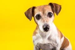 Amazing expressive eyes dog`s portrait on yellow background Stock Image