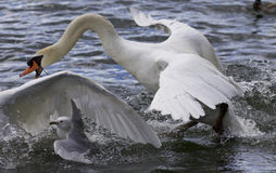 Amazing expressive picture with the swans and a gull Stock Photos