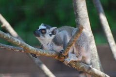 Amazing Face of a Baby Lemur in a Dead Tree. Adorable amazing face of a baby lemur sitting in a tree Stock Images