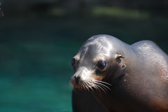Amazing Face of a Sea Lion Royalty Free Stock Image