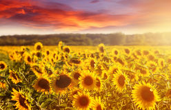 Amazing fairy sundown on sunflower field with sunflowers on foreground. Scenic view on sunflowers with golden sunlight in sundown. Wiyh colorful sky Royalty Free Stock Photos